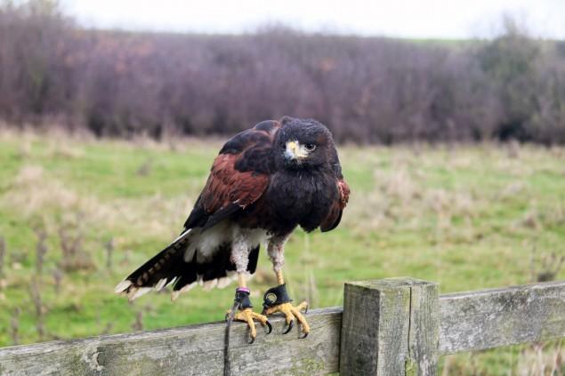A hawk perching on a fence.