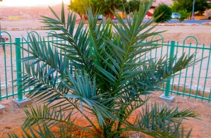 Methuselah—date palm grown from a 2,000-year-old seed. Courtesy of the Arava Institute for Environmental Studies